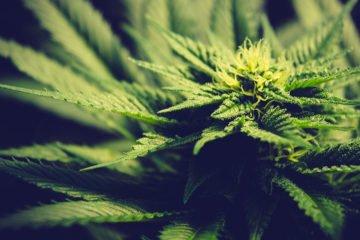 Cannabis light la vendita è libera se il thc è sotto lo 0,5%
