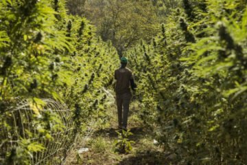 Terre di Cannabis un documentario sulla canapa