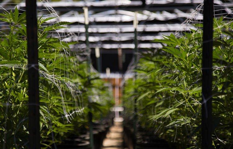 Cannabis come investire nel 2020