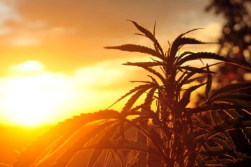 I numeri della Cannabis in Italia