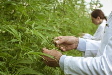 cannabis-vs-covid-19