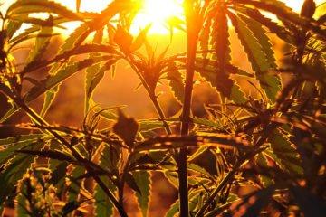 Legalizzazione Cannabis l'appello di cento parlamentari