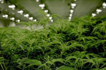 Cannabis Legale: quale possiamo coltivare legalmente