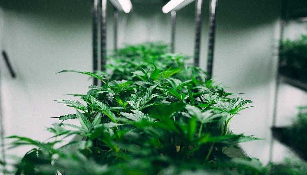 Marijuana legale, il virus non spegne il business