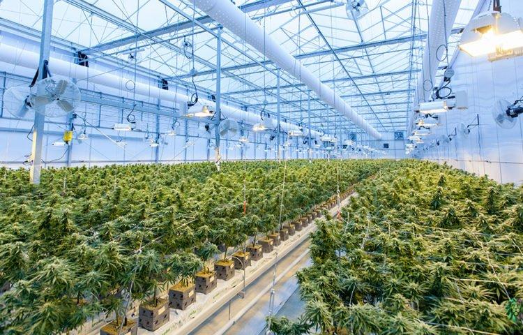 legalizzazione-cannabis-italia