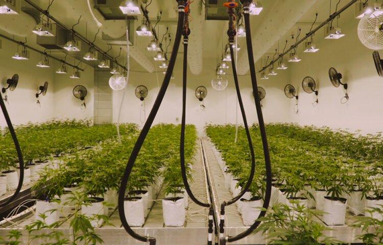 Quanto si guadagna con la cannabis light