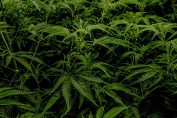 cbd-cannabis-sativa